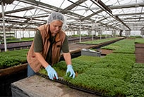 Worker harvests microgreens in a greenhouse