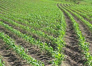 Image of crop rows in the early stages of growing