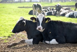 Cows can reach an annual average yield of 9,000 litres of milk