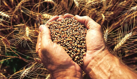 Photo of hands holding grain