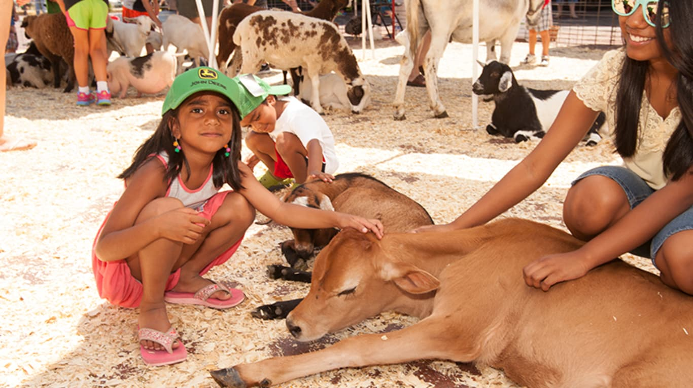 A girl pets a cow during an outdoor event