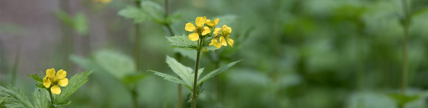 Close-up of yellow flowers in field of green.
