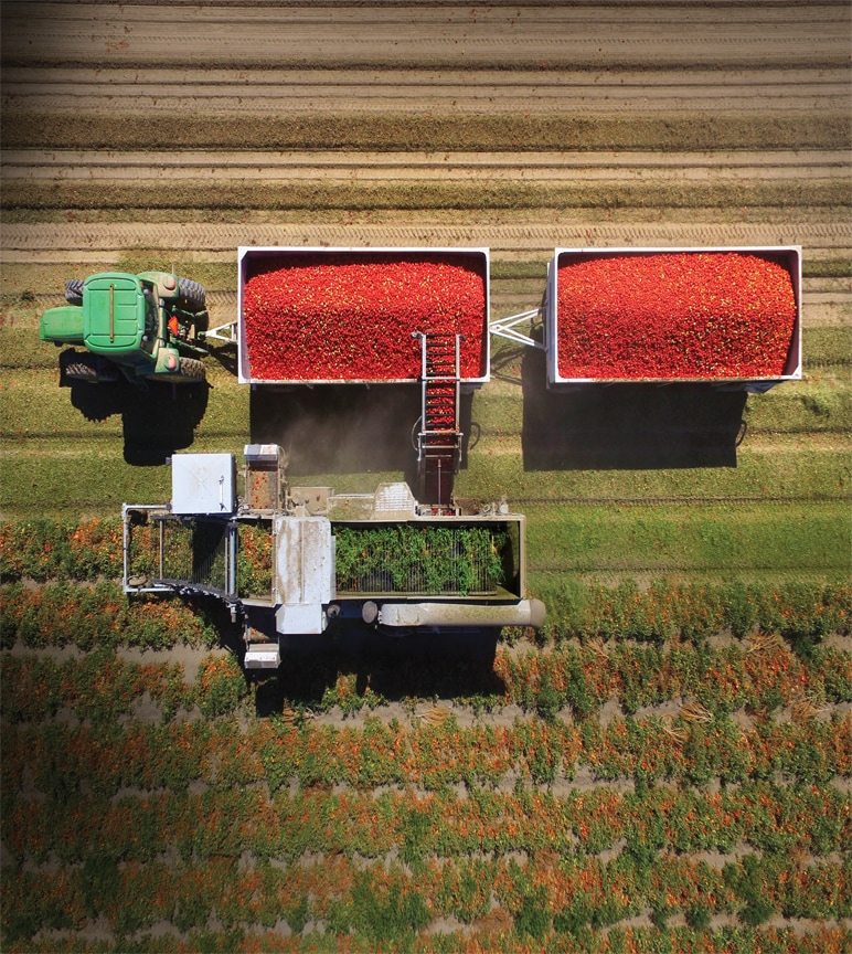 Overhead view of tractor pulling carts full of tomatoes being harvested.