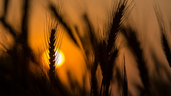 Sunlight through wheat field at sunset