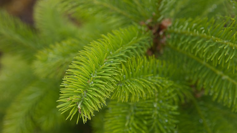 Close up image of a pine branch