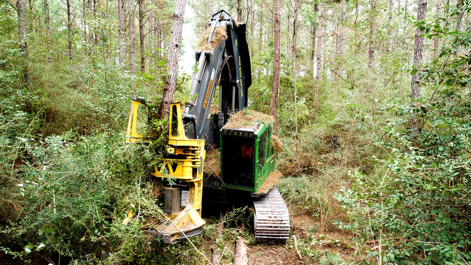 A feller buncher with pine needles on top of the cab works in the woods, cutting down a tree.