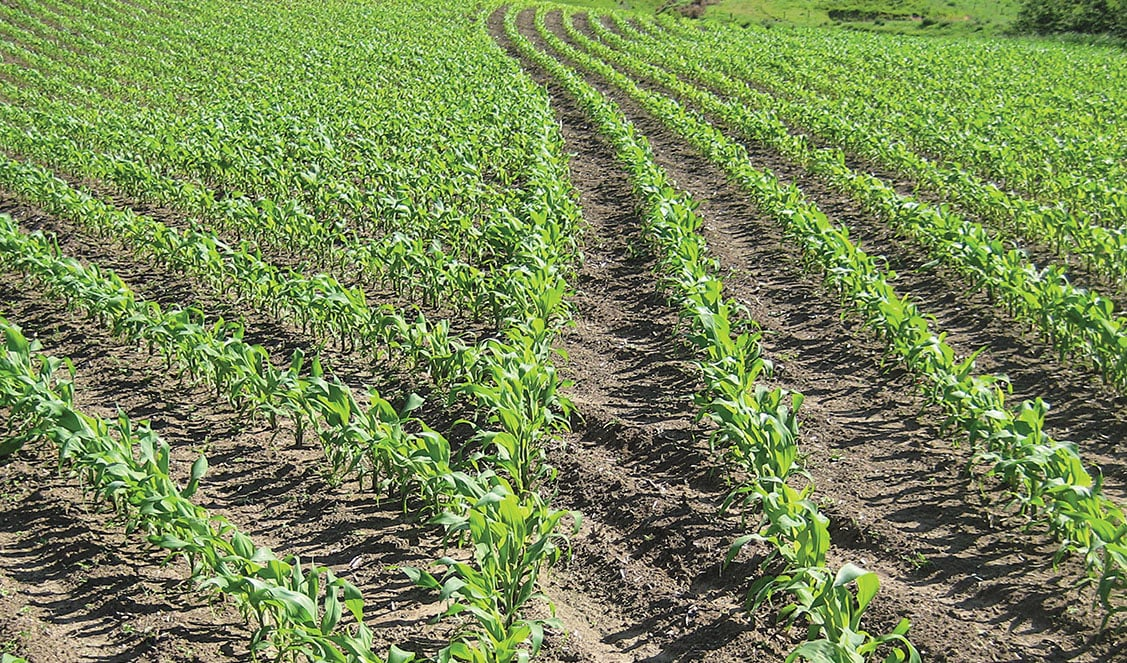 Rows of corn planted so as not to compete with one another