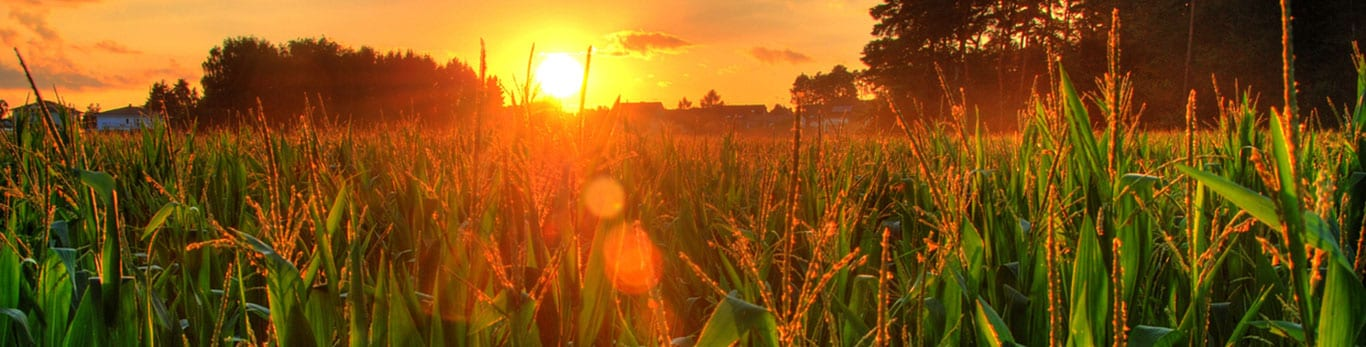 Sunset over a field of crops
