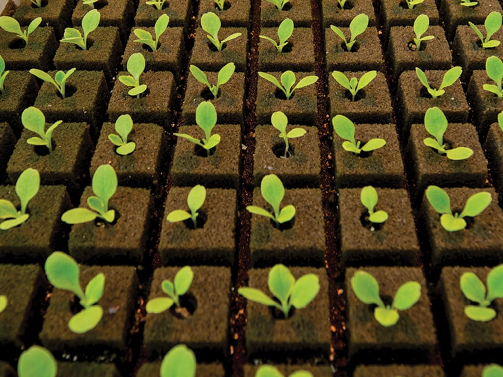 Lettuce plants photo