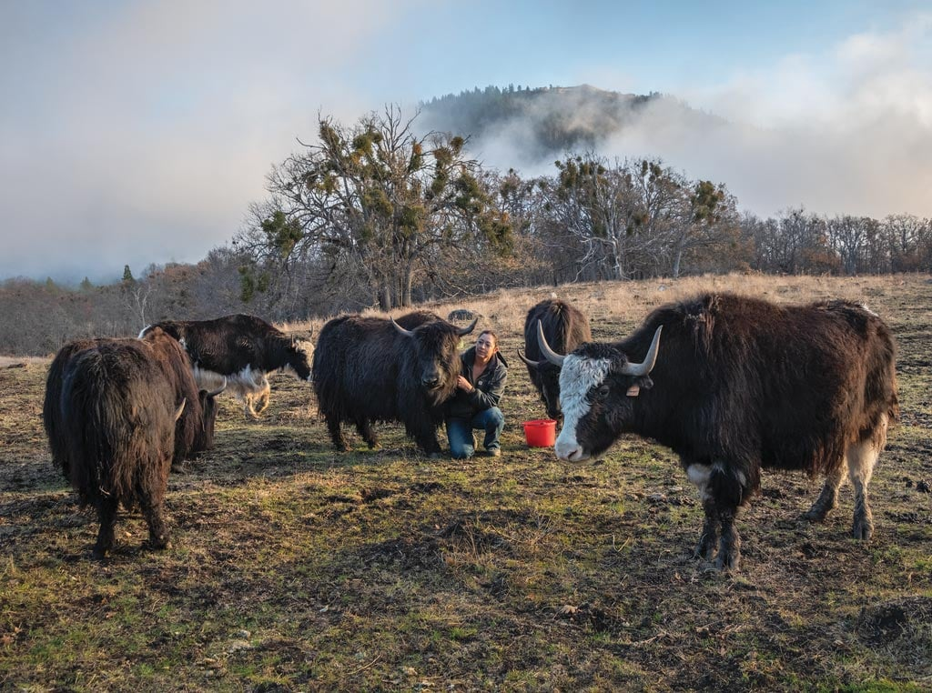 Yaks in a field with owner